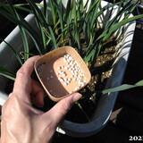 ベランダ菜園の様子、ニンニクに化成肥料を追肥してきた、山芋食べた