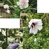 ムクゲはフヨウ属=ハイビスカス属.秋の七草の「あさがほ」に擬された花.ラテン語hibiscusは「marshmallow plant」の意味とのこと.marshmallow=マシュマロ??マシュマロは以前はmarshmallow plant(=ウスベニタチアオイ)のデンプンから作られていた!調べてみると,小さな,どうでも良い?,でも面白い事柄にいきあたるもの..