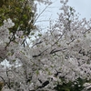 春の訪れ・桜の季節