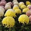 菊の花【重陽の節句】祝おうよ