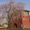 岩間支所の枝垂れ桜・・