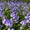 紫の花:ツリガネズイセンとミントブッシュ