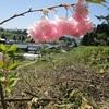 桜、銀杏の植樹