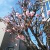 2020-03-16 サクラが咲いた