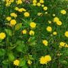 茎の長いタンポポ、花盛り