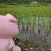 お米の成長途中経過!田んぼの稲を見に行ってみた