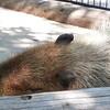 「夏眠」は哺乳類から無脊椎動物まで一般的に見られる行動である