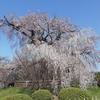 京都ぶらり 桜の名所 円山公園
