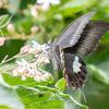【モンキアゲハ】珍しそうで珍しくない、少し珍しい蝶