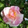「ビェ・ドゥ」の二番花