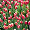 冬のお花撮影は、江の島サムエルコッキング苑のチューリップがおすすめです(藤沢市)