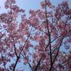 今日の、西新宿の桜。