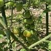 ミニトマトとオクラ