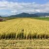 完全無農薬有機栽培米「コシヒカリ」の稲刈り
