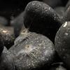 バスキューザ(procambarus vazquezae)の稚ザリ