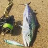 【サゴシ釣り】専用ルアーやロッドって必要なの?代用品での釣り方とおすすめルアー。