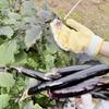 【家庭菜園】ナスを収穫しました