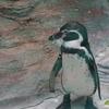 東山動植物園のペンギン