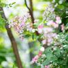 庭の小さなバラたち
