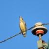 敬老の日の鳥たち(1)~「コムクドリ」の異様さに戸惑って!~
