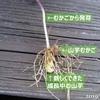 発芽から一ヶ月の山芋むかごを掘り出してみたら小さな芋ができていた