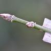 ニシキギの冬芽