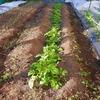 ジャガイモの芽かきしておきました!