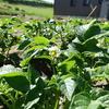ジャガイモの花とテントウムシダマシ