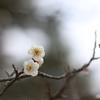 2021/02 兼六園に梅を撮りに行った。