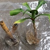 「幸福の木・ドラセナ マッサンゲアナ」の挿し木(3ヶ月後)と植え替え
