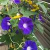 アサガオ観察日記(9)2号も開花! そして娘のアサガオも!