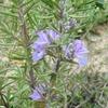 畑のハーブの花6