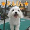 トリミング犬御紹介