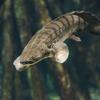 ポリプテルス・コンギクス Polypterus congicus