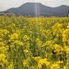 黄色い絨毯*菜の花畑*