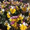 3-295   愛すべき花たち〜冬プランターオススメの花は…〜