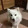 甲斐犬サン、ドッグショーへのチャレンジ❗️の巻〜(((o(*゚▽゚*)o)))ワクワク!