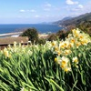 一月の下灘・・ナタネ、スイセン、さらにコスモスまで。花三昧です