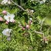 百姓日記 Vol.132 ~リンゴの花~
