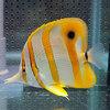 ハシナガチョウ(チェルモ) 10-12cm !海水魚 チョウチョウウオ 15時までのご注文で当日発送【チョウチョウウオ】