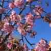 """富士見6丁目で、""""河津桜"""" が咲きました! (2020年2月6日)"""
