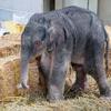 上野動物園でゾウの赤ちゃん誕生!開園以来初めてゾウの繁殖に成功!名前は?