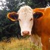 オーストラリアの異常気象が牛を殺す!
