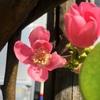 カリンの花と実