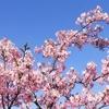 馬見丘陵公園の河津桜が満開です。