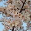 桜の話をしていて、思い出したこと~先人の技術~
