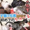 子猫3兄弟が初めてちゅーるを食べる!初体験な猫のおやつに大興奮!【動画あり】