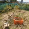 ブルーベリーの剪定3 庭の草取り 小さい花のツバキ
