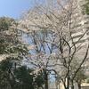春が来た!ディンプスの周りが桜色になりました!