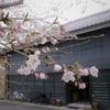 薄雲りの桜